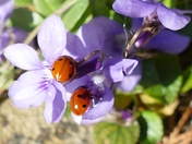 Spring sunshine brings Ladybirds out of hibernation.(photo challenge)