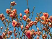 magnolias in the golden light near sunset