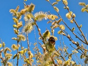 Busy Bee on the goats willow