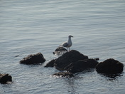 A seagull on the rocks at low tide.