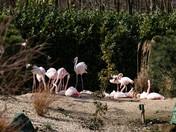 Flamingos at Pensthorpe