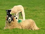 Spring Lambs