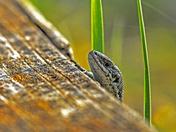 peeking lizzy