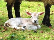 Very Fresh Spring Lamb