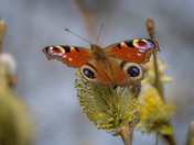 Peacock on pussy willow