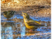 Crossbills in Suffolk