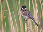 Reed Bunting, male