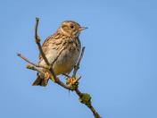 Suffolk Woodlark