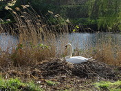 Nesting swans on the River Wensum in Norwich