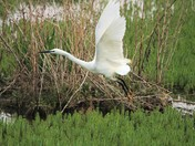 Egrets on take off