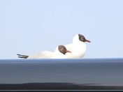 Gulls on car roof