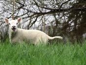 Happy Lamb.