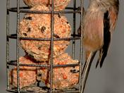 Long-tailed tit on bird feeder