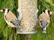 Back to Back Goldfinches on the feeder.