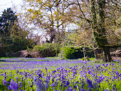 Stunning Blanket of Blue on the Bluebell field