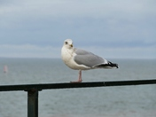 HERRING GULL TAKING A BREAK AT HUNSTANTON