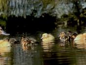 Easter Ducklings.