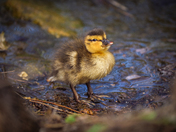 Easter ducklings, goslings and moorhen chicks at Pensthorpe