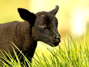 Easter Lamb. my name is Chocolate.
