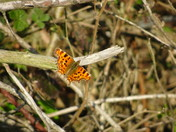 A comma enjoying the warmth