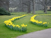 Path of Daffodils