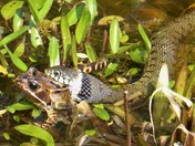 Grass Snake attacking a Frog