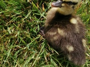 Rescued duckling