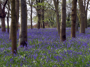 Bluebell Season is here