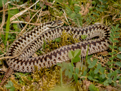 Male Adder on Hellenge Hill