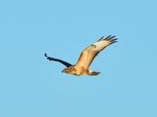 buzzard  nwt cley marsh.