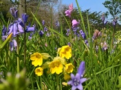 Amongst the bluebells and cowslips