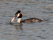 Perch takes on Grebe, and fails