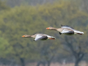 Greylags