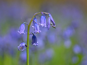Bluebells and bokeh