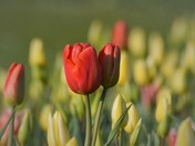 Tulips on Mundesley Seafront