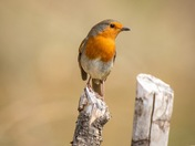 Another beautiful robin
