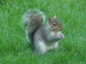STUDY OF A GREY SQUIRREL