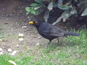 THE BLACKBIRD