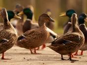 Going quackers