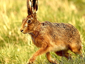 Close up of a Hare.