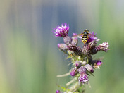 Hover Fly on a Thistle