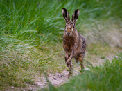 Hare towards me
