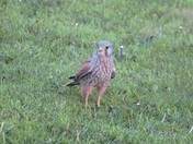 Kestral on the park