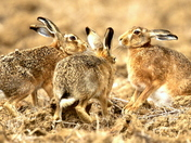 Hares having a party.