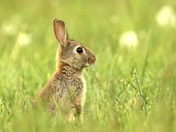 Baby Bunny in a wild flower meadow.