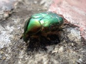Noble Chafer Beetle.