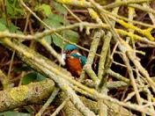 Kingfisher waiting to catch breakfast