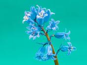 Graden bluebells