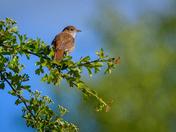 Springtime Nightingale
