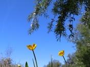 Blue Sky Buttercups